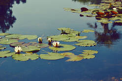 photo of lily pond